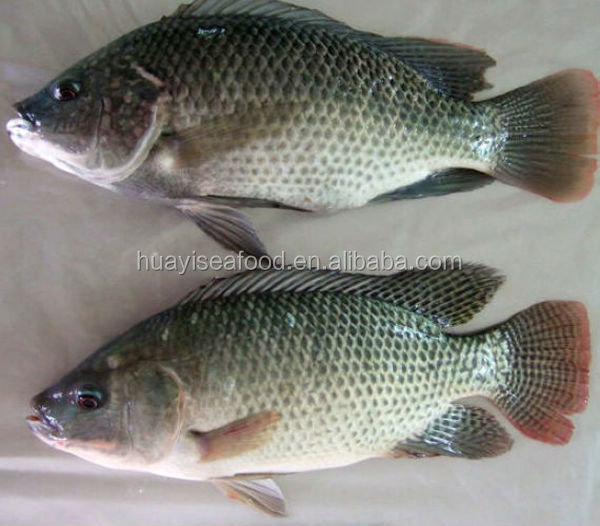 high quality frozen fish tilapia