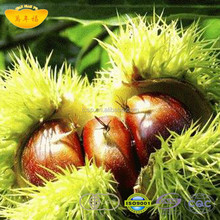 The most delicious fresh qianxi chinese chestnut