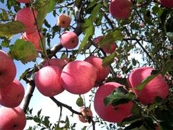 cheap stock 2015 bulk bulk fresh apples