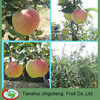 Royal Gala apple fruits mature in July