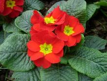 Top quality Primula malacoides extract,Primula malacoides extract powder