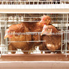 chicken cage for sale in philippines poultry cage