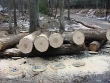 Hard Maple Veneer Logs