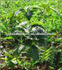 Pure Valerian oil, welcome your inquiry