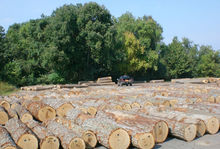 EUROPEAN WHITE OAK LOGS FRESH CUT GOOD QUALITY