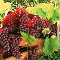20pcs Fresh Red Globe Grape variety Seeds Sweet Vine Plant