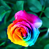 hot sales rainbow roses flower seed seeds flower roses