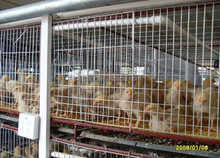 domestic automatic broiler chicken cage/pigeon cages wire mesh/insect wire mesh