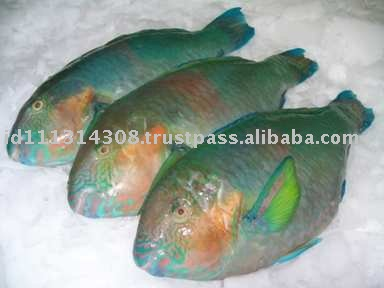 Good quality frozen parrot fish for sale buy frozen fish for Parrot fish for sale