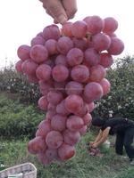 Fresh globe red grapes for sale from China