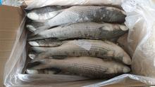 New season grey mullet frozen Mugil cephalus fresh fish to export
