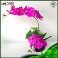 Phalaenopsis orquídea