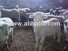 Lambs from Bulgaria for slaughter
