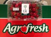 Fresh Cherries from Uzbekistan