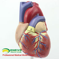 Medical Anatomy Plastic Life-Size Human Heart Model for Sale