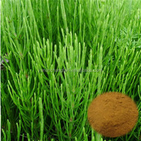 GMP factory supply Continued hot Horsetail P.E.