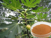 Natural plant extract top sell fig leaf extract samples