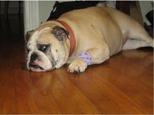 Printing Verterinary/Animals/ Pets/ Elastic Vetwrap Cohesive Bandage
