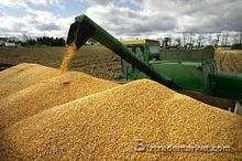 yellow corn in bulk for sale both for people consumption and animal feed