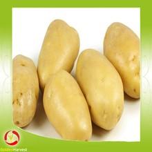 Chino nueva cosecha fresca de semilla de papa de la patata en malla bolsa de embalaje