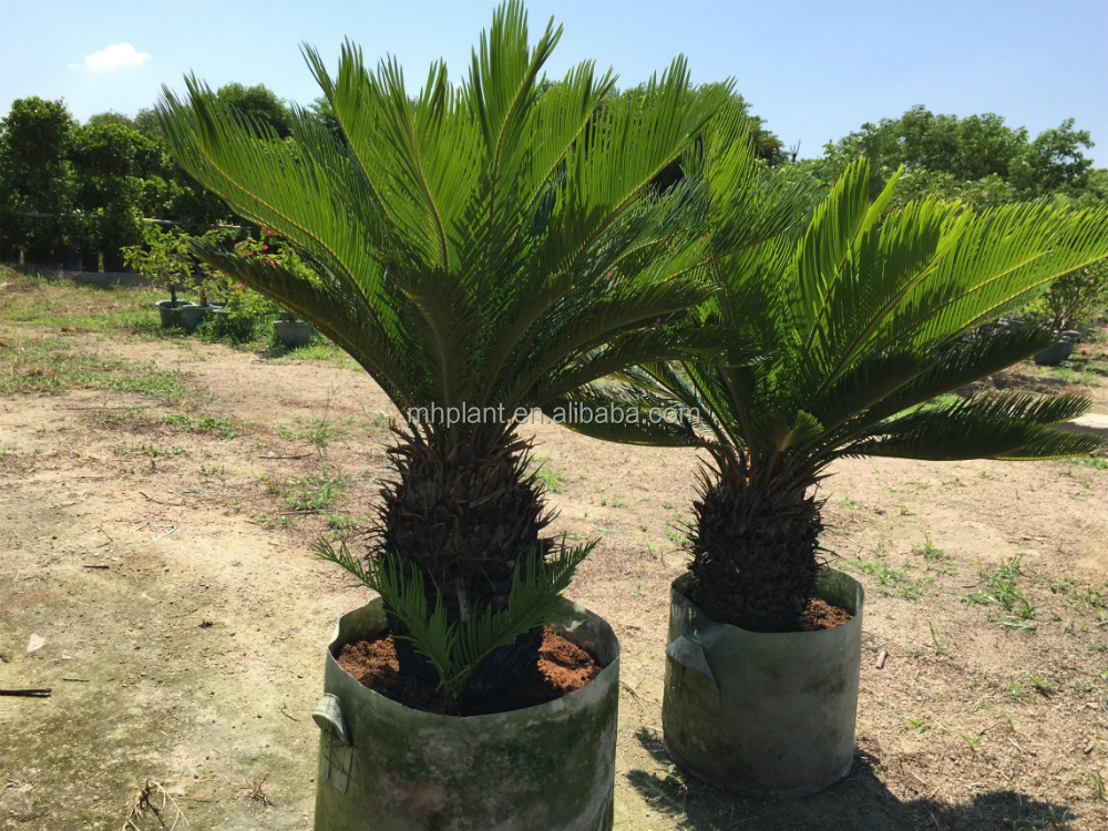 Cycas Revoluta uk Cycas Revoluta Bulb Sago Palm