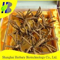 High quality cordyceps/dong chong xia cao/Yarsagumba
