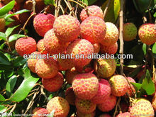 lychee powder / litchi extract / Litchi chinensis p.e