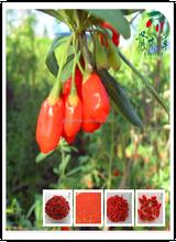 2015 china red goji berries 250/280/350/380/500/750 ,wolfberry seeds