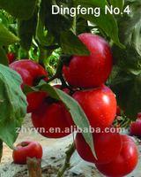Red Fruit Tomato F1 Hybrid Tomato Seeds