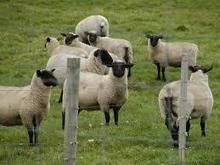 Sheep live,price CIF for any Middle East ports for sale