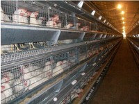 Poultry farm full automatic chicken cage for layers and broilers(H&A Type)