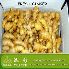 supplying fresh ginger to export