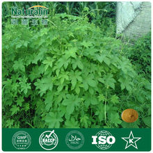 Wild Organic Gynostemma extract (P.E.)of herbal extract