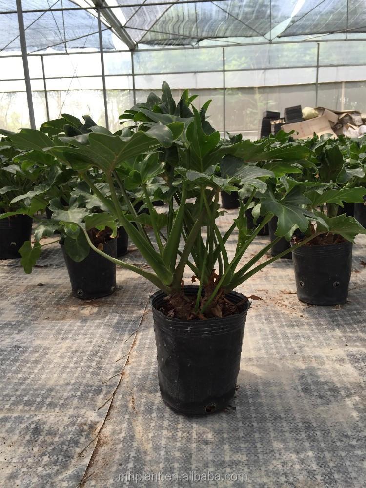 "Live Tropical Plant Philodendron Xanadu ""little Angel"" - Buy ..."