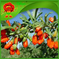 Goji Berries tea Certified ORGANIC green food good for men and women sex