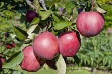 Fresh cheap nourishing sweet Fuji apple,Fresh fruit