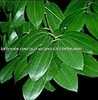 Our Manufacturing Product of Cinnamon Leaf Essential Oil