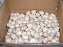 2015 new crop single clove garlic