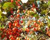 Fructus Corni Extract