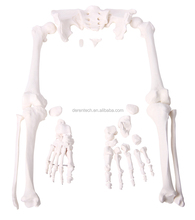Human Disarticular Skeleton