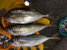 Land Frozen Whole Horse Mackerels for Bait from China 150g +