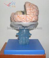 Advanced PVC Brain Model,Anatomical Brain Models biology lab instruments
