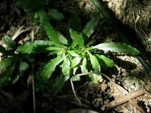 Natural y pura de huperzia serrate planta de extracción/huperzine un