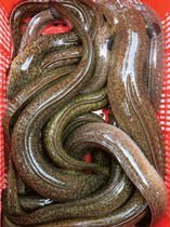 Marbled eel (Anguilla marmorata)