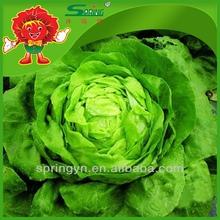 2015 fresco lechuga ( mantecosa ) vegetales verdes orgánicos chino lechuga