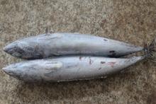 [ bonito ] fish 300-500g new stock health fresh food big fat excellent quality