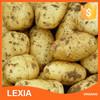fresh large shandong potato top quality