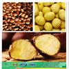 2015 new products health halal food organic fresh chinese chestnut in guni bag