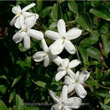 Jasmine Oil (Jasminum Grandifolrum) from India