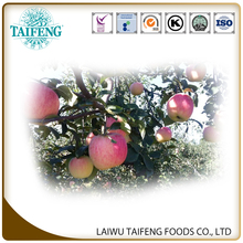 SHANDONG FRESH APPLES